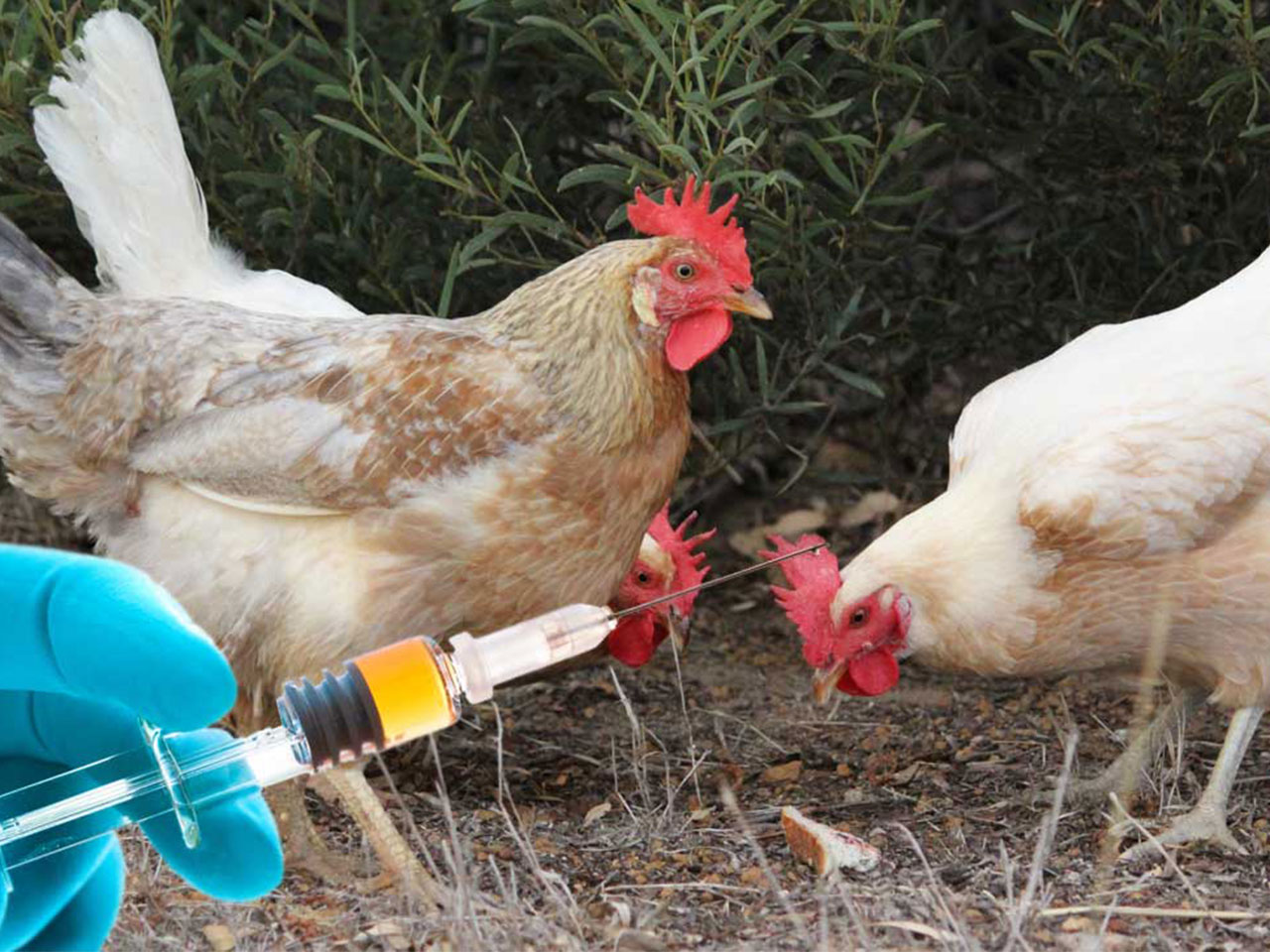 Poultry vaccination